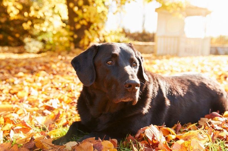 Loyal Labradors