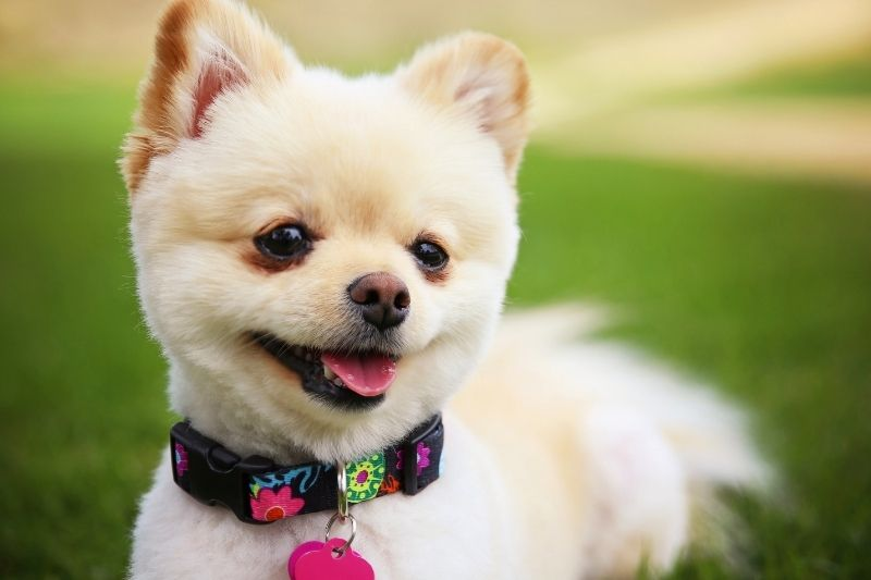a cute Pomeranian puppy dog groomed with pretty collar